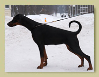 Dobermann Smart Wood Hills Dream Weaver