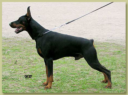 Dobermann Smart Wood Hills Ellington Garry