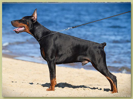 Dobermann Smart Wood Hills Matthew