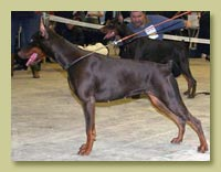 Dobermann Smart Wood Hills Бордо(Kriegerhof Konrad Krieger x Smart Wood Hills Tigridia)