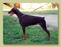 Dobermann Smart Wood Hills Феофания (Igor v. Marchengarten x Smart Wood Hills Yutisia)