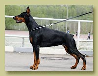Dobermann Smart Wood Hills Хонда (Livonijas Baron Hero Hieronimus x Smart Wood Hills Ecstasy)