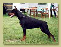 Dobermann Smart Wood Hills Изадора(Graaf Quinton van Neerlands Stam x Kwin de Gor)