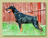 Dobermann Smart Wood Hills Korsika (Pimm's Number One iz Doma Domeni x SWH Marsela)