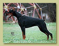 Dobermann Smart Wood Hills Pilar (Shogun van Roveline x Smart Wood Hills Yuksi)