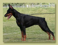 Dobermann Smart Wood Hills  Prada (Smart Wood Hills Ellington Garry x Galanthus Nobilis Venezuela)