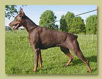 Dobermann Smart Wood Hills Претти (Shogun van Roveline x Smart Wood Hills Yuksi)