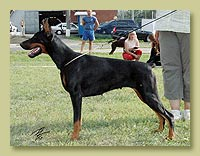 Dobermann Smart Wood Hills Секвойя (Livonijas Baron Hero Hieronimus x Smart Wood Hills Италика)