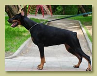Dobermann Smart Wood Hills Сицилия (Livonijas Baron Hero Hieronimus x Smart Wood Hills Италика)