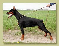 Dobermann Smart Wood Hills Tigridia (Jivago v.h.Wantij x Smart Wood Hills Ecstasy)