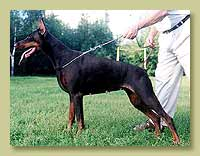 Dobermann Smart Wood Hills Тирана(Jivago v.h. Wantij x Smart Wood Hills Yuola)