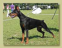 Dobermann Smart Wood Hills Тринити (Jivago v.h.Wantij x Smart Wood Hills Ecstasy)