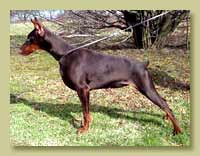 Dobermann Smart Wood Hills Тубероза (Jivago v.h.Wantij x Smart Wood Hills Ecstasy)