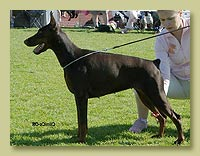 Dobermann Smart Wood Hills Ума (Pathos delle Querce Nere x Smart Wood Hills Beretta)