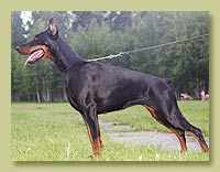 Dobermann Smart Wood Hills Урсула (Pathos delle Querce Nere x Smart Wood Hills Beretta)