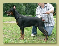 Dobermann Smart Wood Hills Венеция (Smart Wood Hills Ellington Garri x Smart Wood Hills Tigridia)