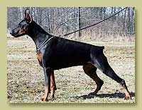 Dobermann Smart Wood Hills Вивр Вивьен (Smart Wood Hills Ellington Garri x Smart Wood Hills Tigridia)