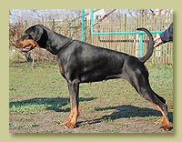 Dobermann Smart Wood Hills Йолка (Livonijas Baron Hero Hieronimus x Smart Wood Hills Beylis)