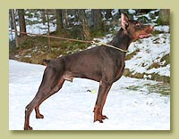 Dobermann Smart Wood Hills Moby (Fedor del Nasi x SWH Beylis)