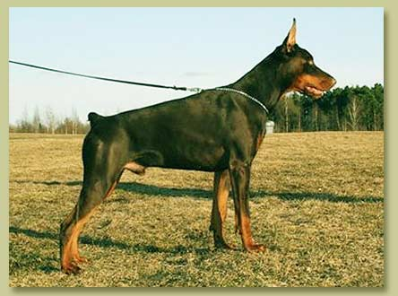 Dobermann Smart Wood Hills Zarina